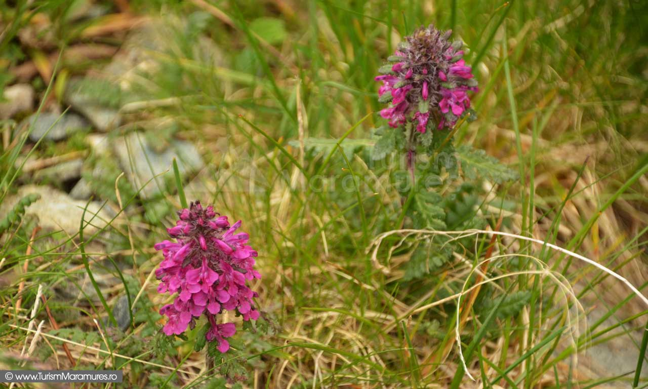 41_Pedicularis-verticillata_vartejul-pamantului