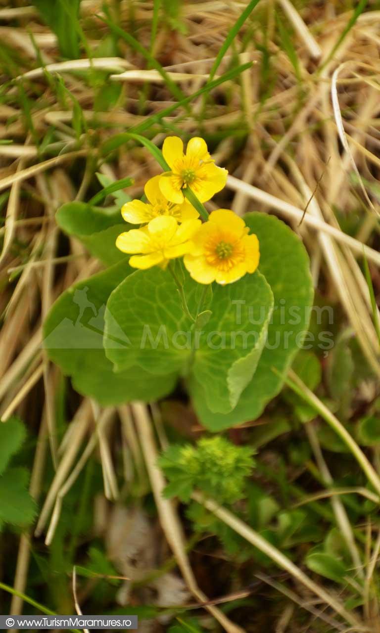 42_Ranunculus-thora