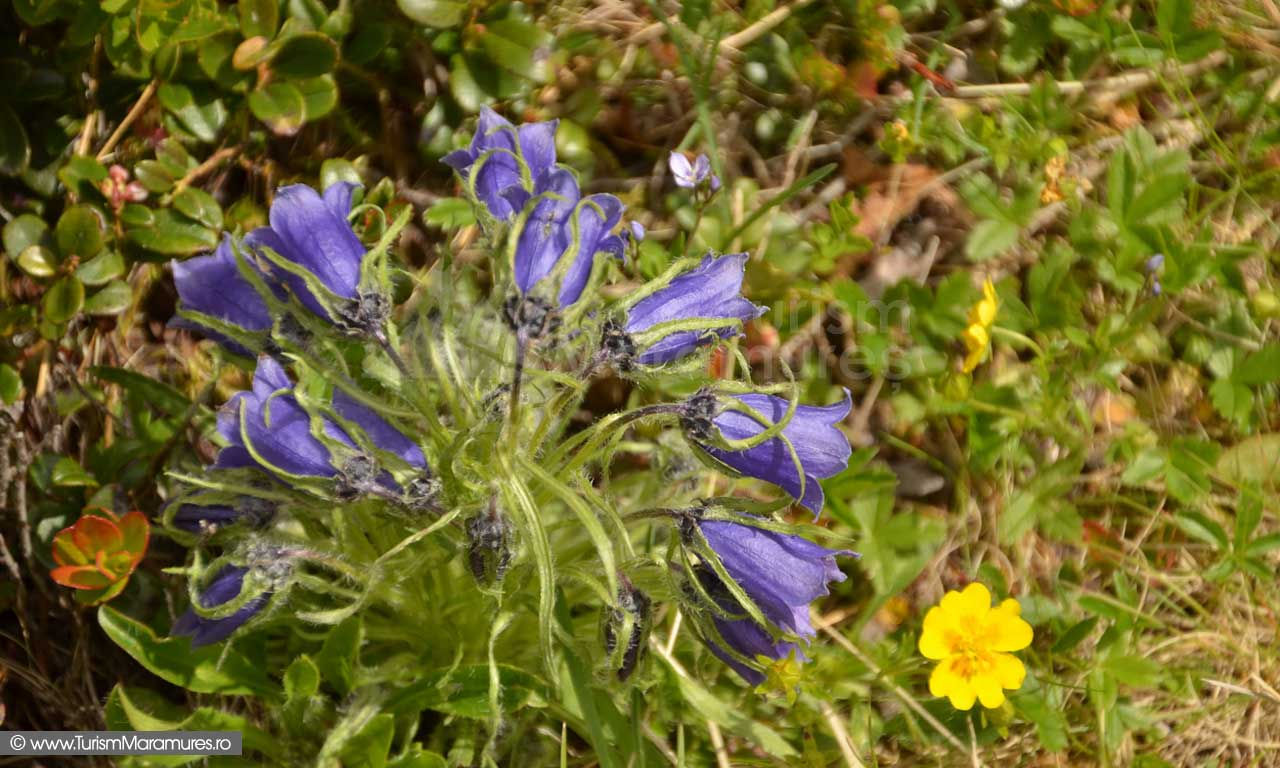 45_Campanula-alpina_Potentilla-sp