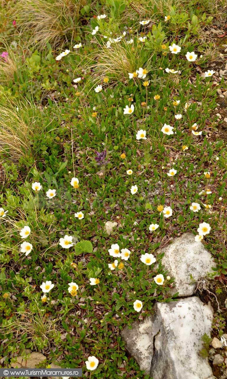 46_Dryas-octopetala-plants_Argintica