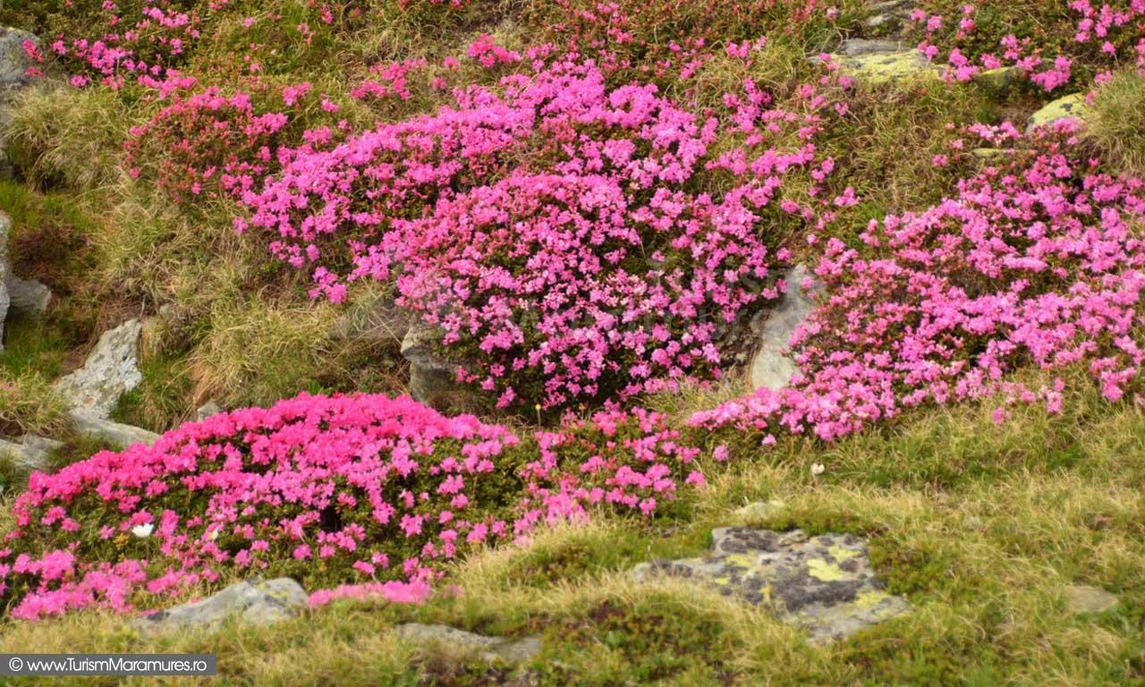 80_Rododendron-pe-culmea-Pietrei-Albe