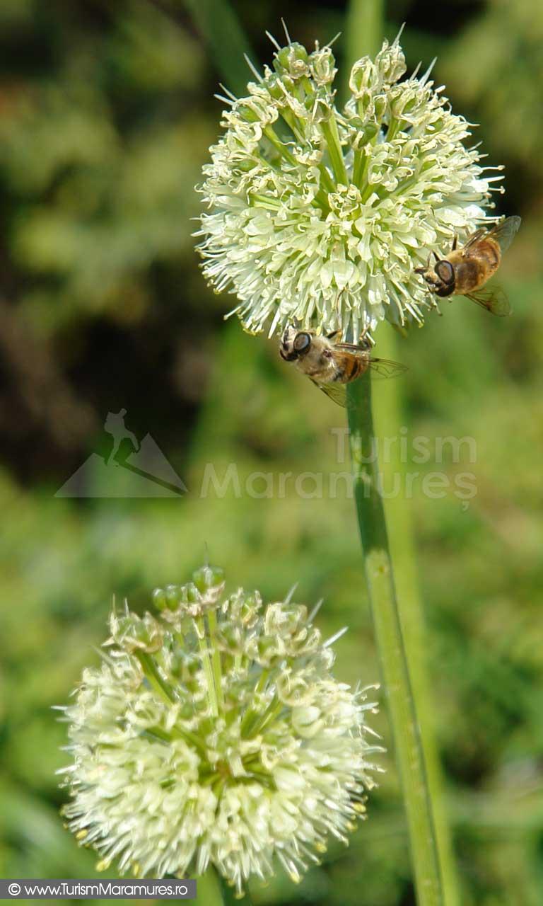 24_Usturoi-salbatic-in-floare