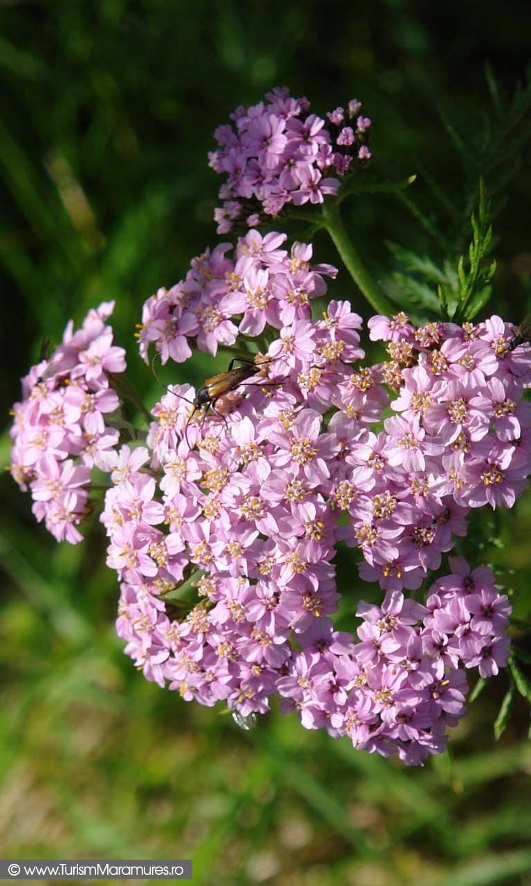 37_Achilea-Millefolia