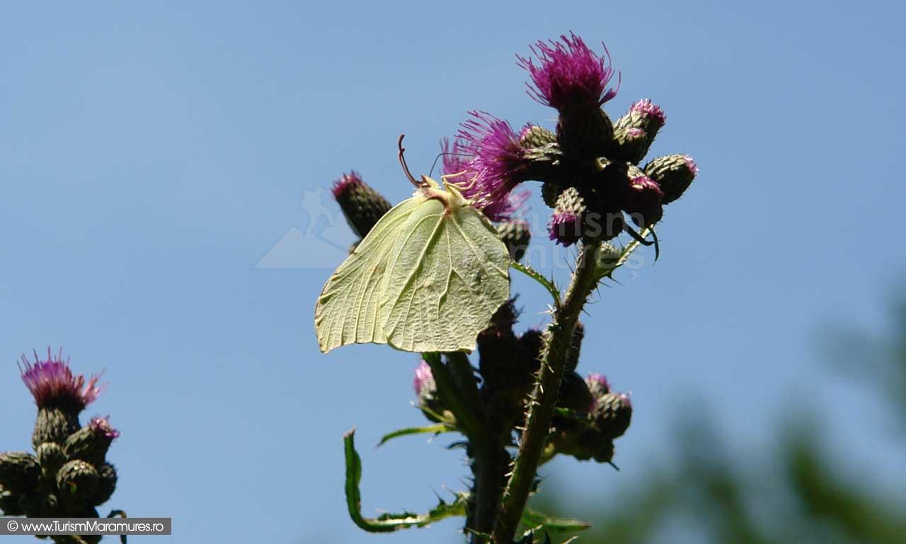 40_Ciulin-cu-fluture
