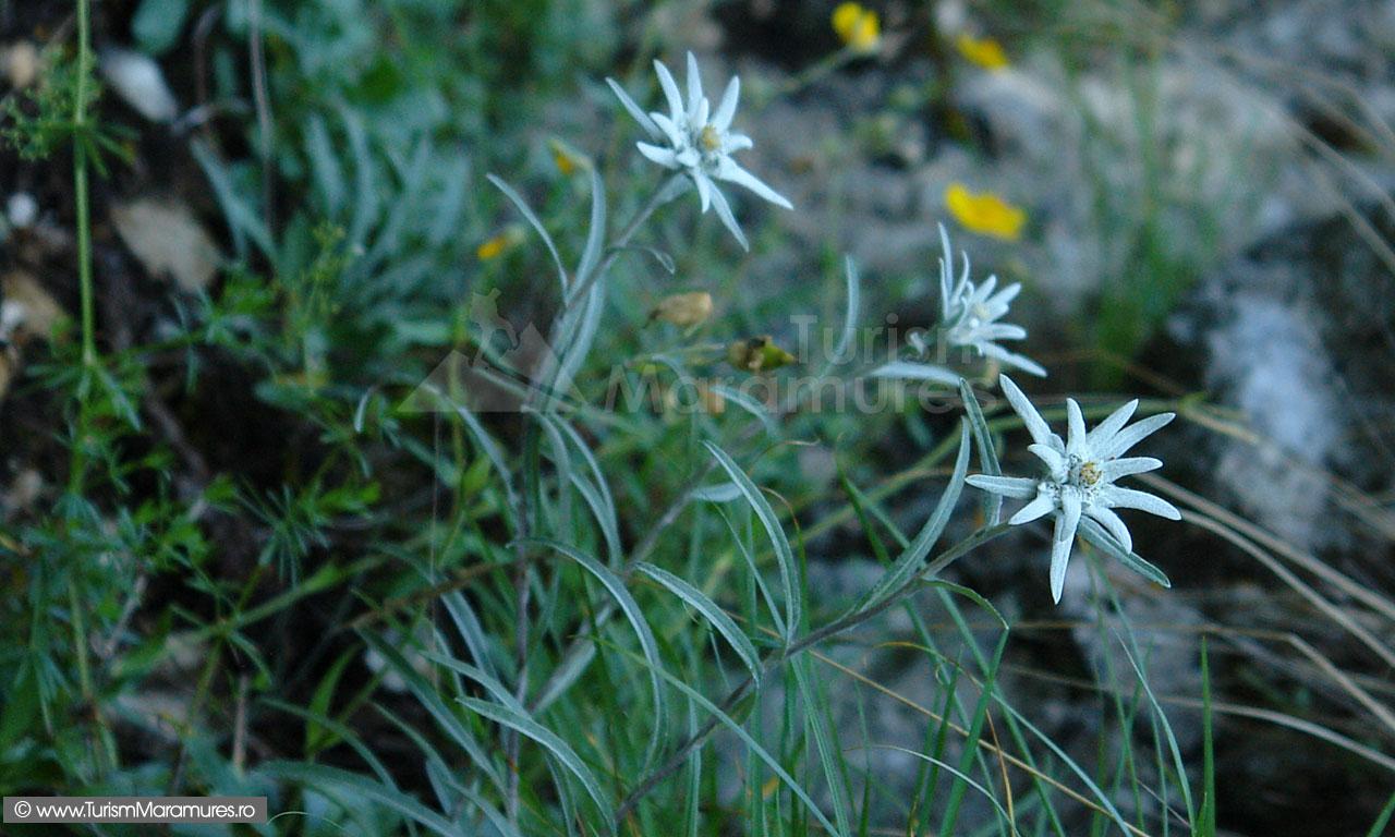 15_Leontopodium-alpinum_Flori-de-colt