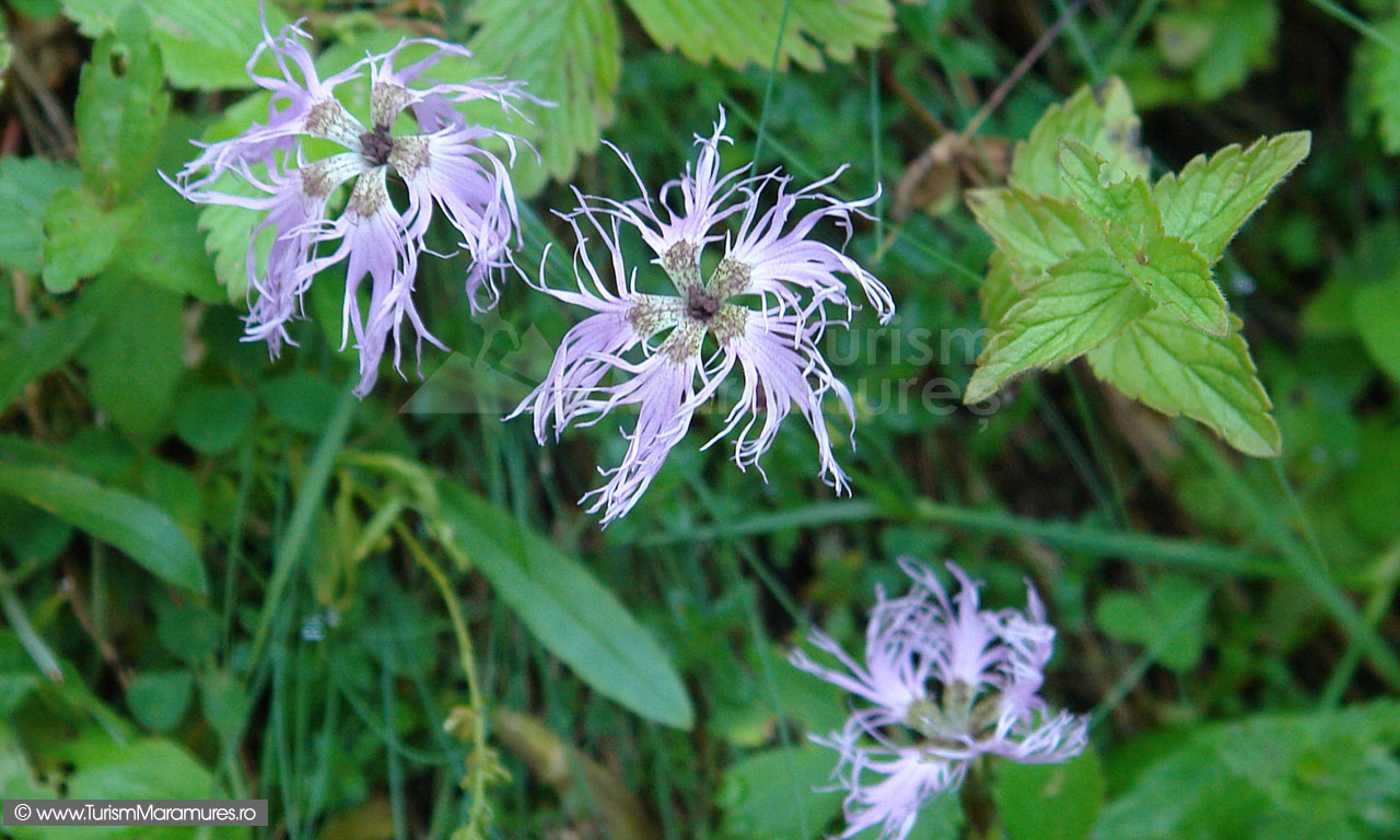 20_Dianthus-spiculifolium_Barba-ungurului