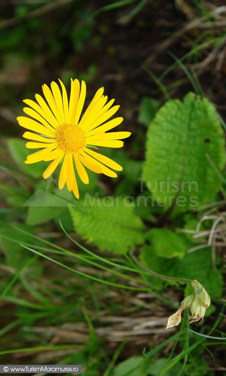 18_Doronicum-carpaticum