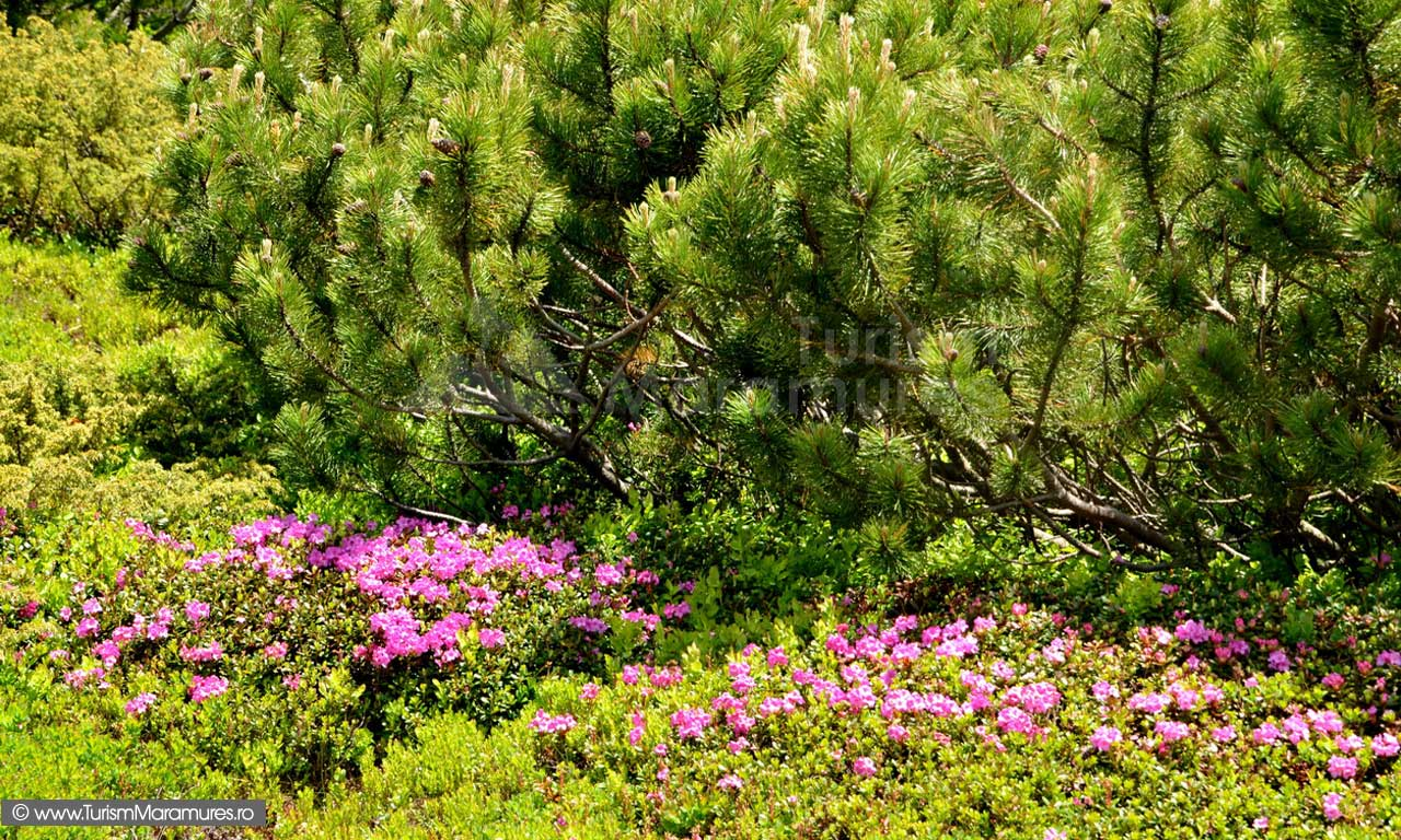 83_Rododendron_jnepeni