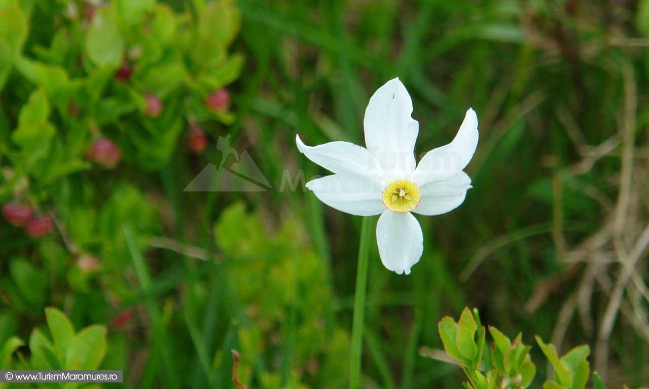 16_Narcisa-salbatica