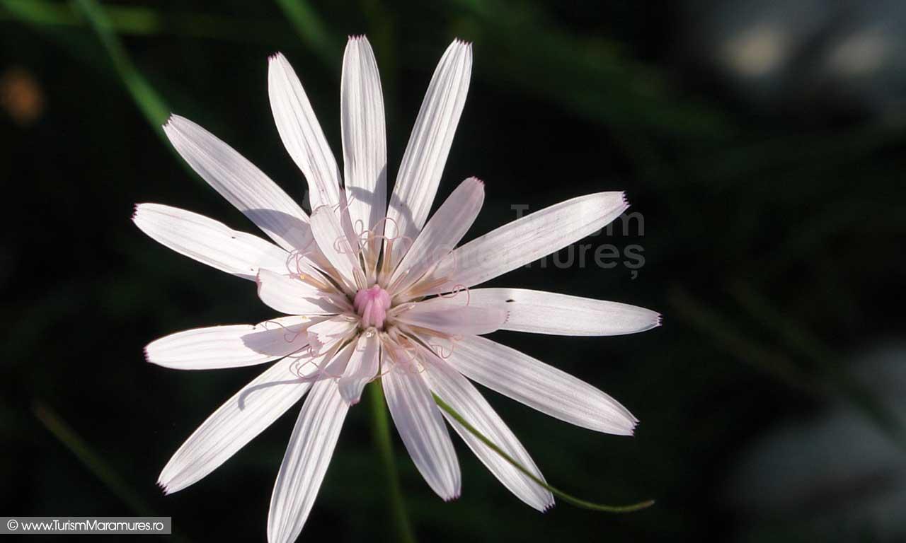 12_Scorzonera-sp._Floarea-viperei