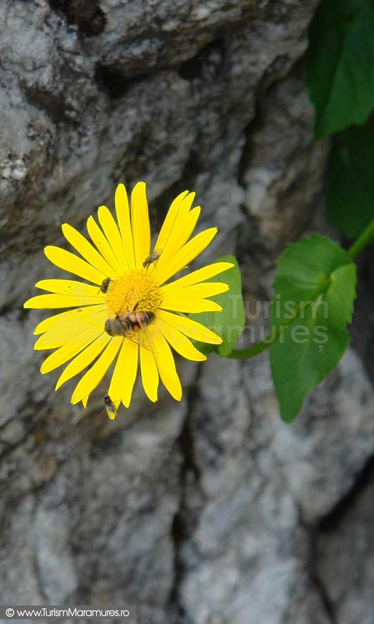 26_Doronicum-carpaticum