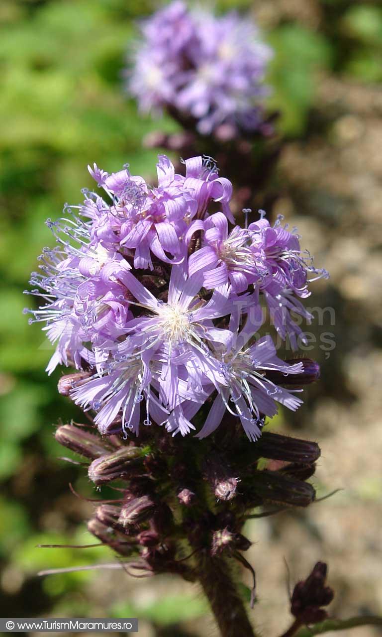 60_Flori-Muntii-Maramuresului
