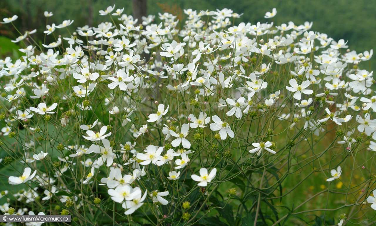 67_Anemone-narcisifolia