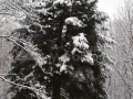 06-La-arborele-de-tisa