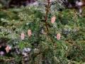 07-Tisa-Taxus-baccata-flori-feminine