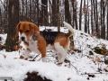 27-Beagle-tricolor