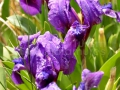 44_Iris-pumila-cu-cosas