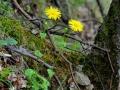 47_Doronicum-carpaticum