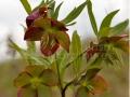 48_Spanz_Helleborus-purpurascens