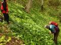 58_Leurda-Allium-ursinum