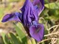 53-Iris-pumila.jpg
