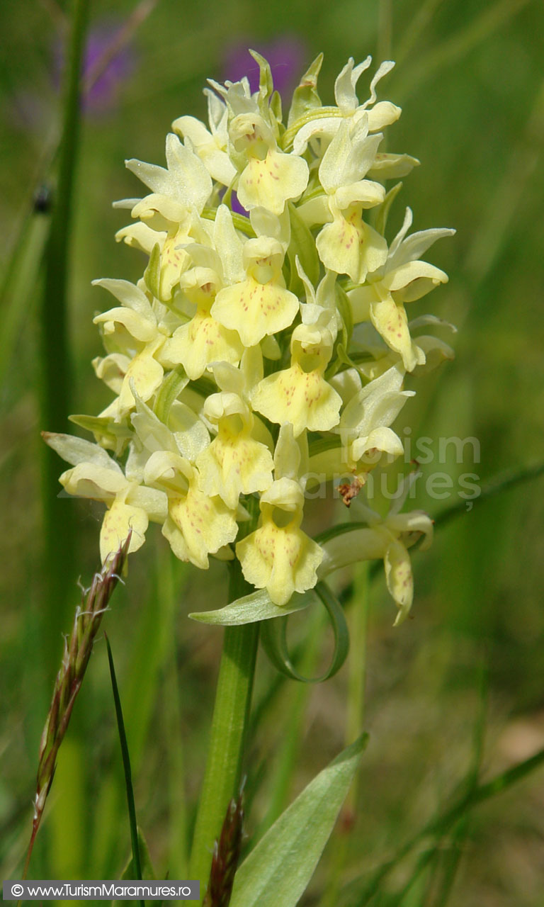 29_Orhidee-untul-vacii_Orchis-pauster