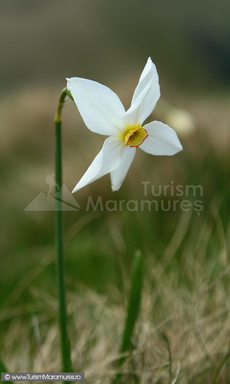 46_Narcisa-salbatica