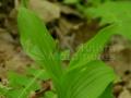 19-Cypripedium-calceolus-Papucul-doamnei-tulpina-cu-frunze.jpg