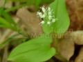 20-Maianthemum-bifolium--llacramita.jpg