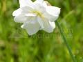 44-Narcisa-salbatica.jpg