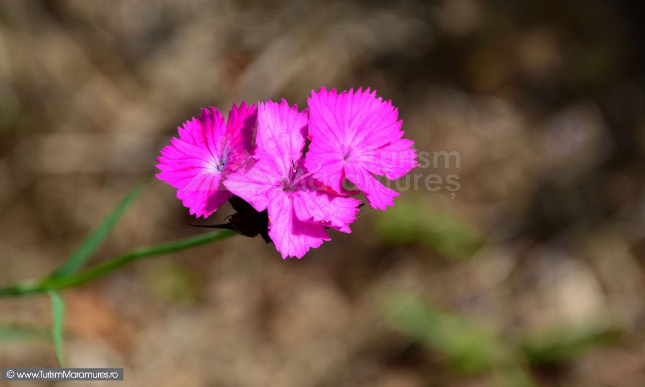 0131_Garofite_Dianthus-carthusianorum
