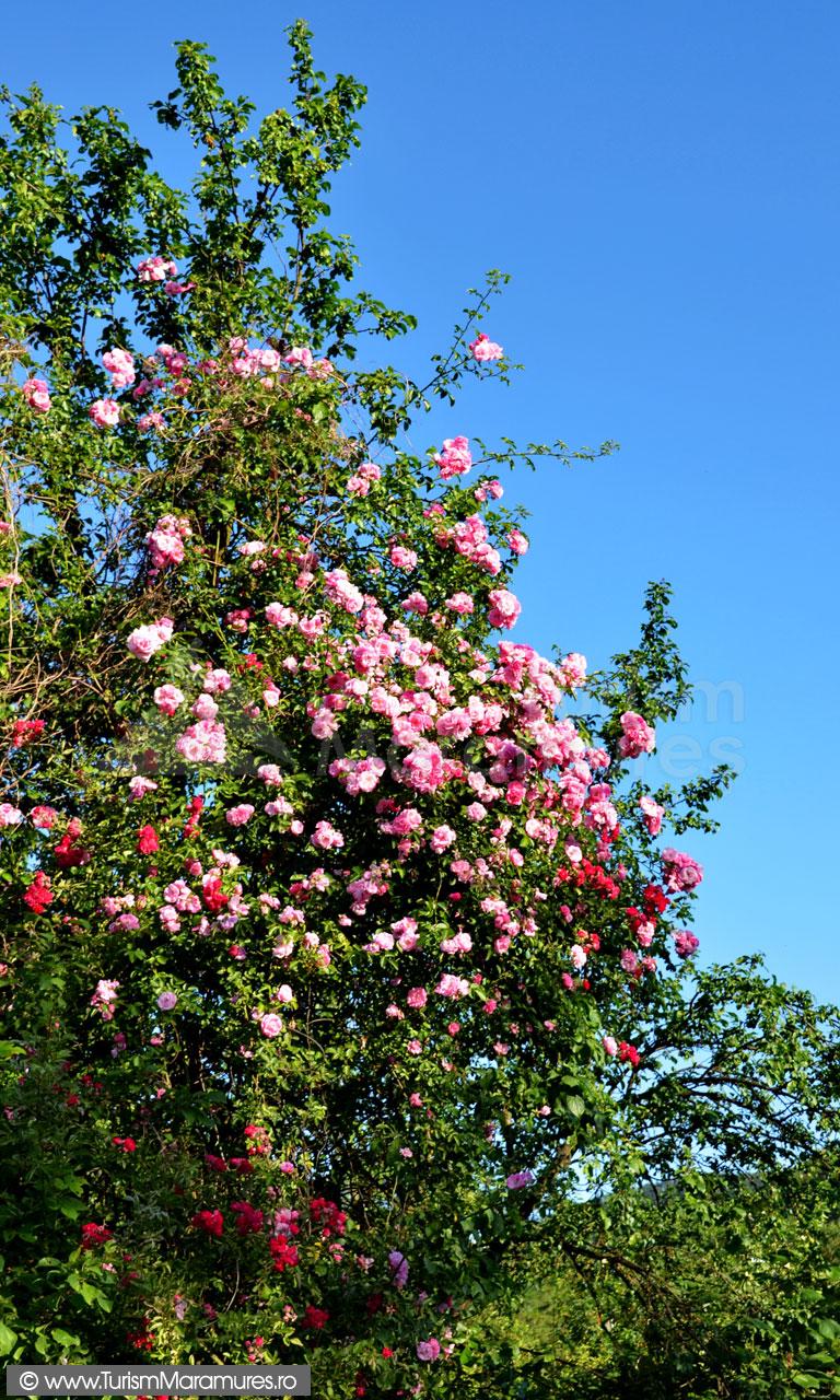 0219_Trandafiri