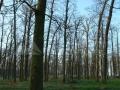 20_Stejari-pedunculati