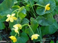 26_Caltha-palustris