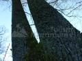 27_Stejar-pedunculat_Quercus-robur