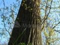 41_Stejar-pedunculat