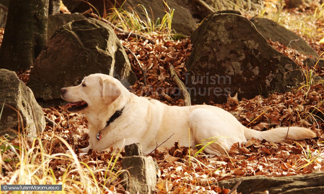 12_Labrador