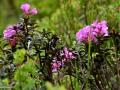 34-Primul-rododendron.jpg