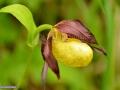 0100_Cypripedium-calceolus_Papucul-doamnei_orhidee