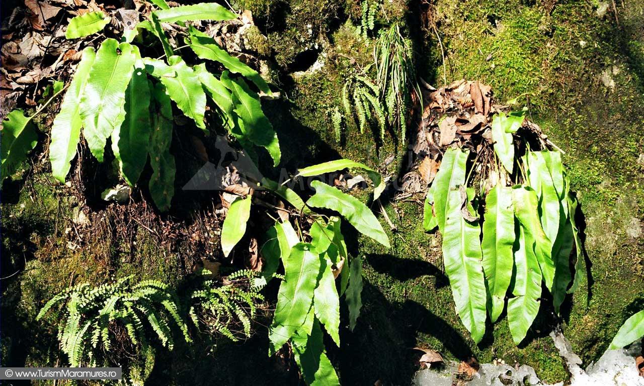 Limba-cerbului-(Phillitis-scolopendrium)