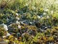 Floarea-Pastelui-Anemone-nemorosa