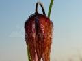 Laleaua-pestrita_Frittilaria-meleagris_02