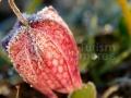 Laleaua-pestrita_Frittilaria-meleagris_05