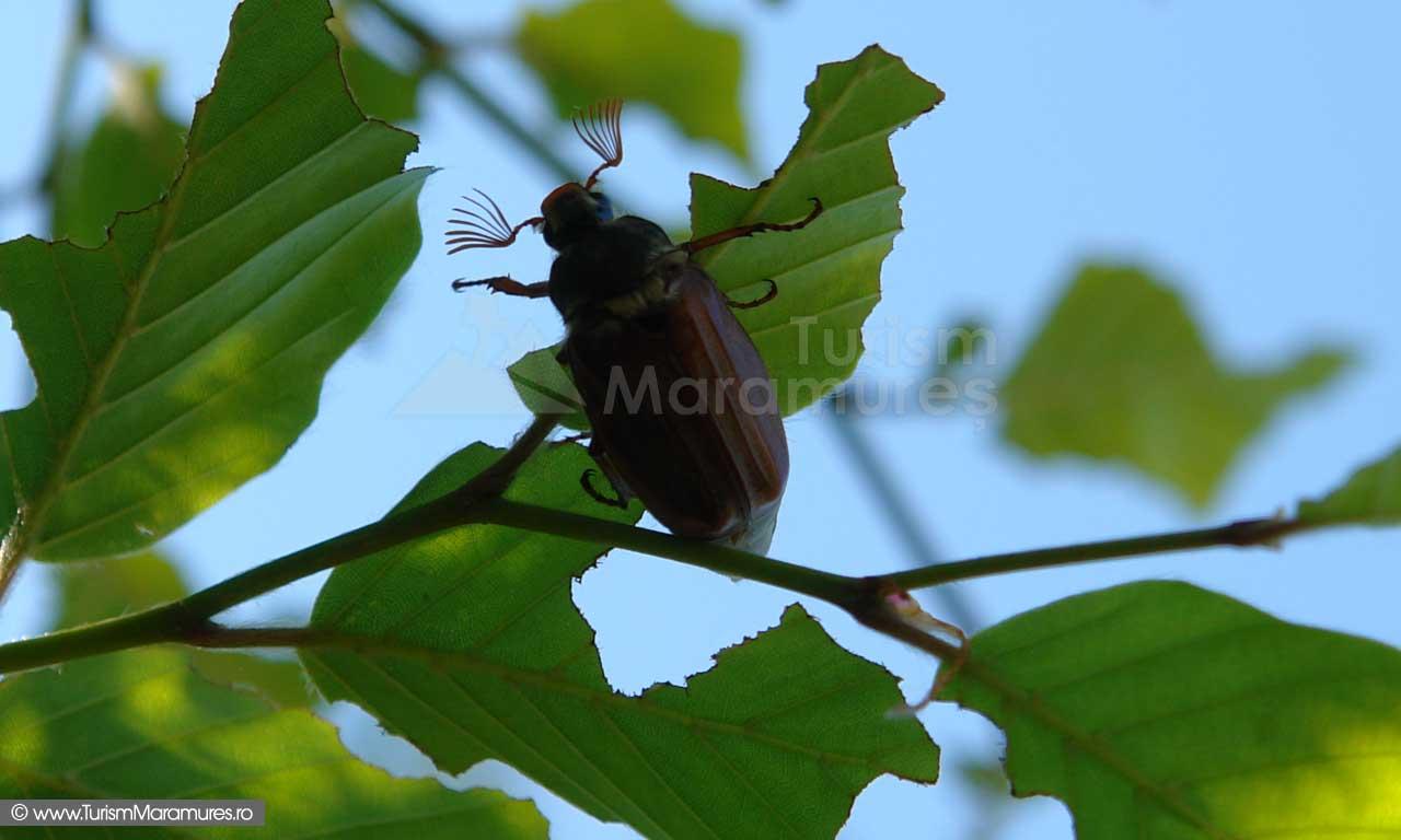 Carabus de primavara - Melolontha melolontha
