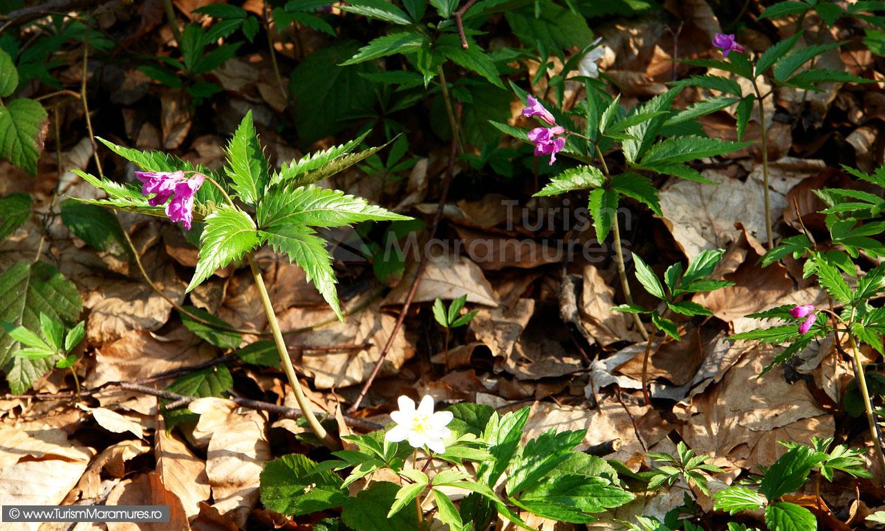 19_Dentaria-glandulosa-coltisori
