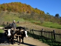 26-Barsana-Valea-Muntelui-car-cu-boi