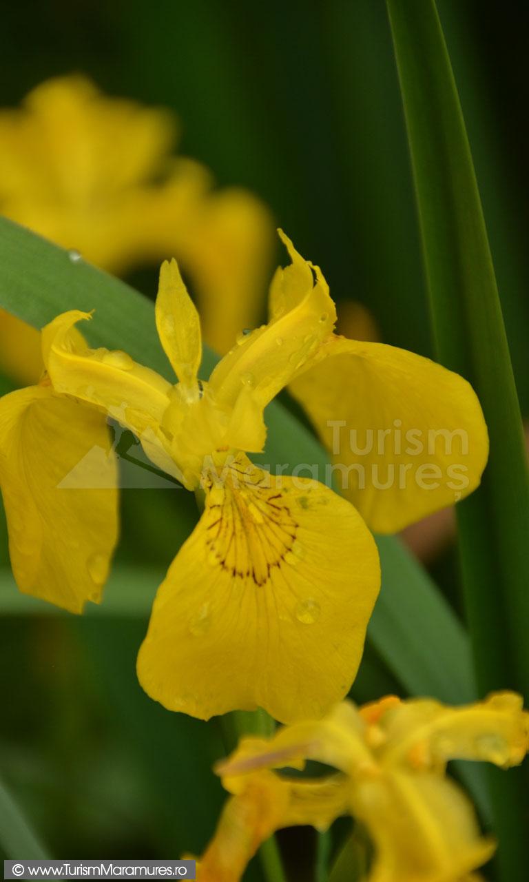 0016_Iris-pseudacorus
