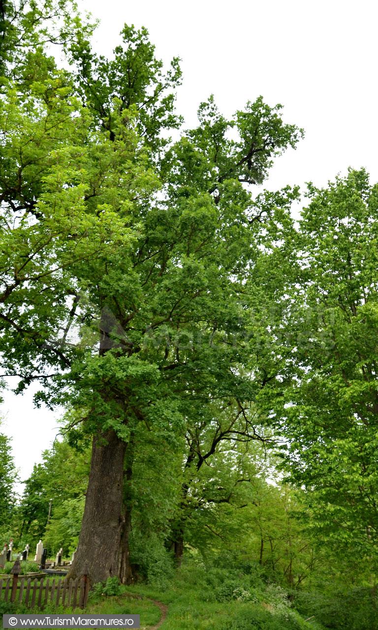 0158_Stejarul-monument-al-naturii-Coruia-Maramures