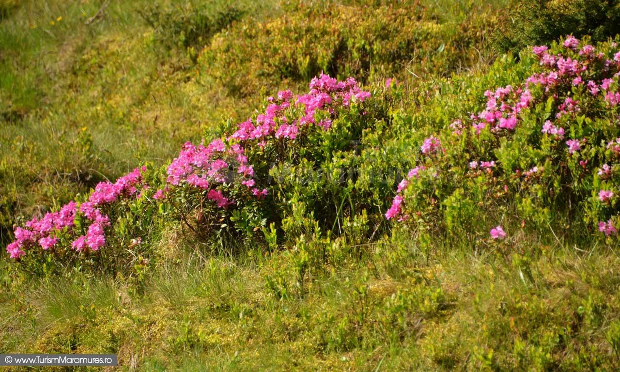 09_Rhododendron-myrtifolium_Muntii-Rodnei