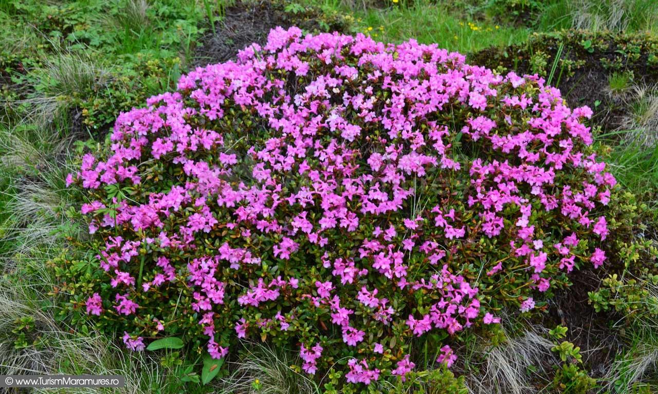 118_Smardan_rododendron
